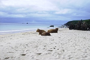 A photo of cattle on Machir bay